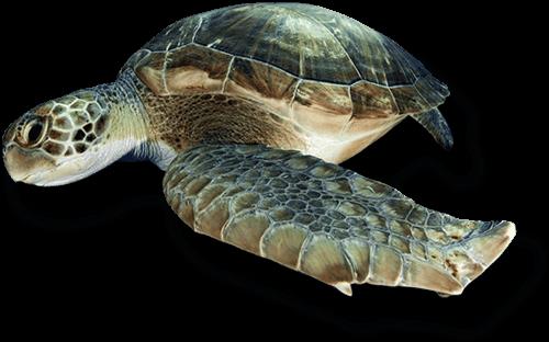 Nurkowanie z żółwiami Teneryfa z WET MONSTER - Polska Baza Nurkowa Teneryfa